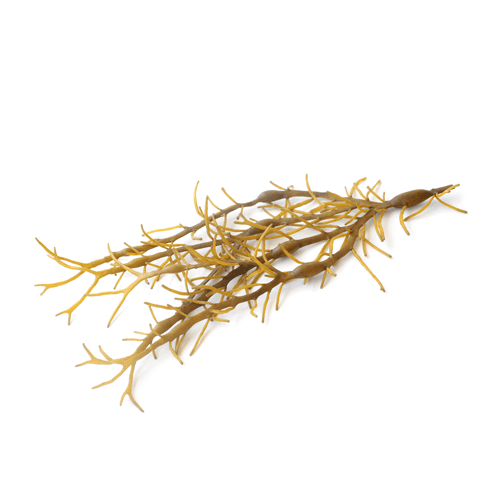 Rjave Alge